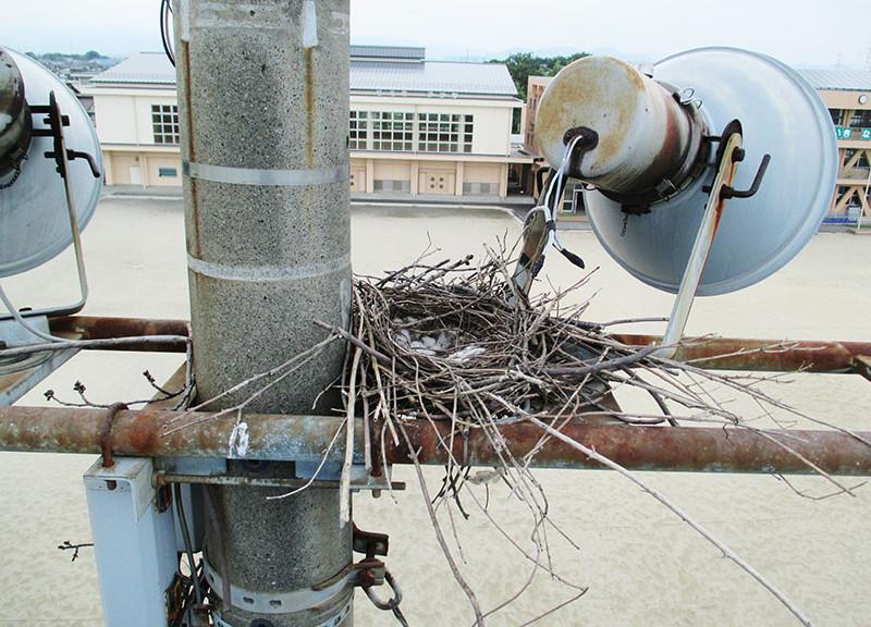 某小学校カラスの巣撤去